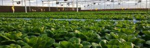 lettuce_2